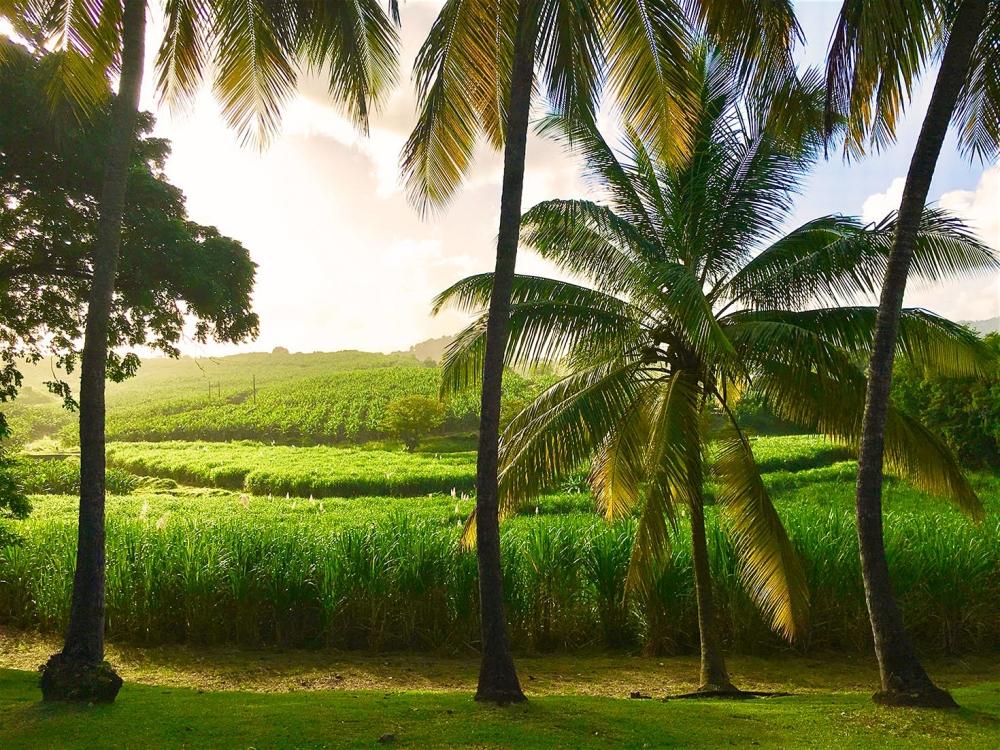 Martinique's Top-Shelf Rum Scene